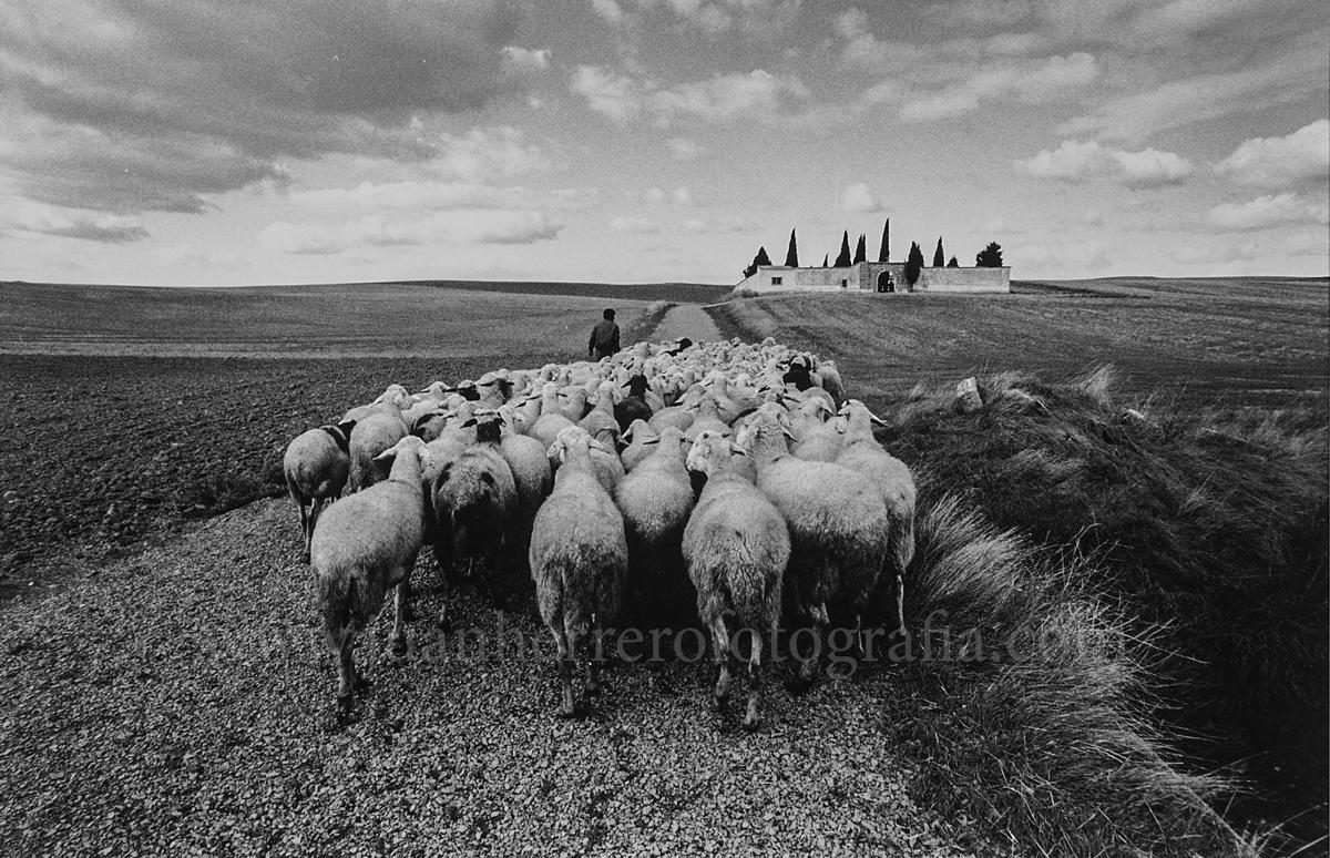 Rebaño de ovejas y pastor